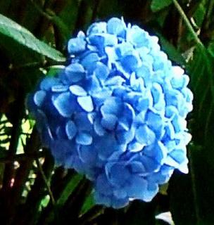 pict-紫陽花-2-6-26