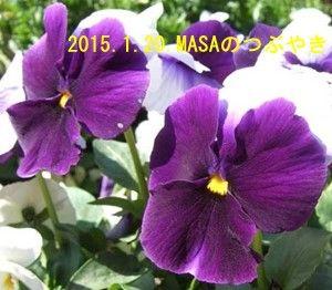 s-2015-01-22_パンジー-1