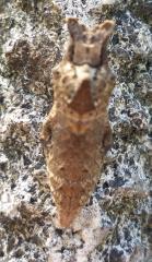 pict-P1030828モンシロチョウの蛹(2)