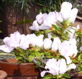 pict-咲き始めたアザレアつつじ白色