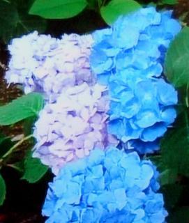 pict-紫陽花-3-6-26