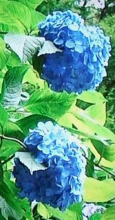 pict-紫陽花-1-6-20