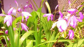 pict-紫蘭-1 (2)