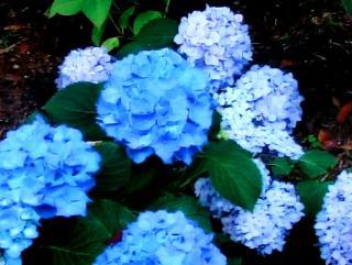 pict-紫陽花-4-6-26