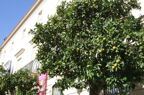 セビリア街路樹スペイン(2)049