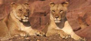 pict-BBC-Lion-2