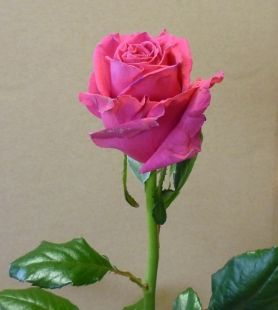 rose-neo-color-1