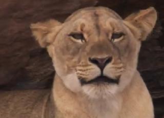 pict-BBC-Lion-1