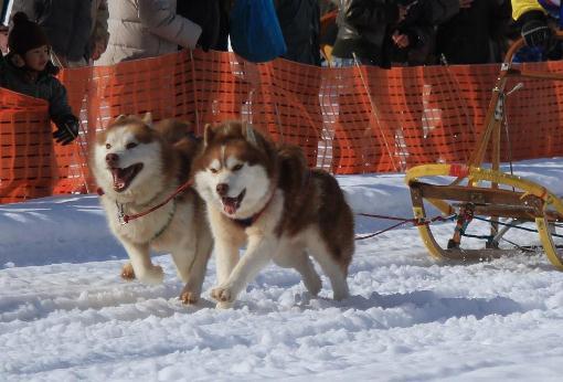 犬そりレース