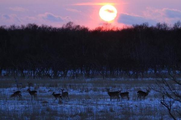 夕日と鹿の群れ