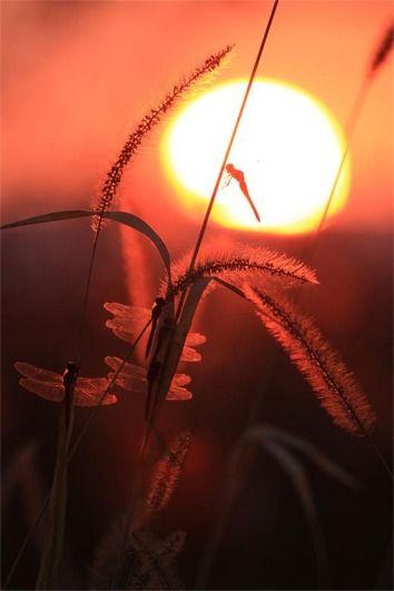 夕陽にとんぼ