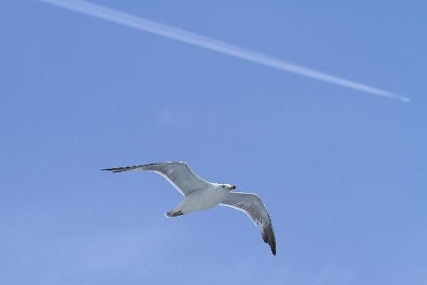 カモメと飛行機雲