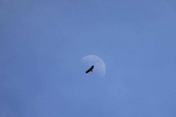 白い月とオジロワシ