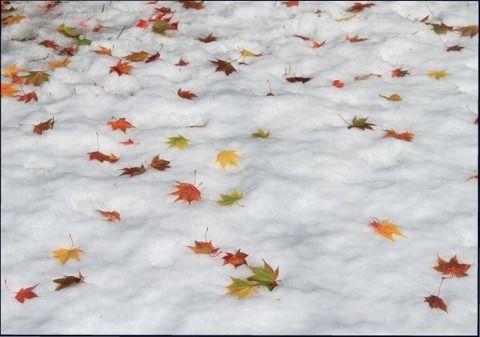 雪もみじl