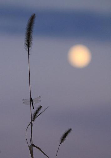 月にとんぼ