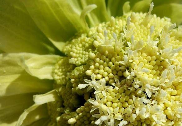 ふきのとう花
