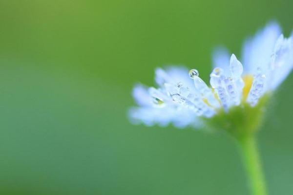 朝露の野花