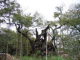 山梨県 山高神代桜1