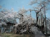 山梨県 山高神代桜4