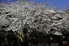 げろ夜桜1
