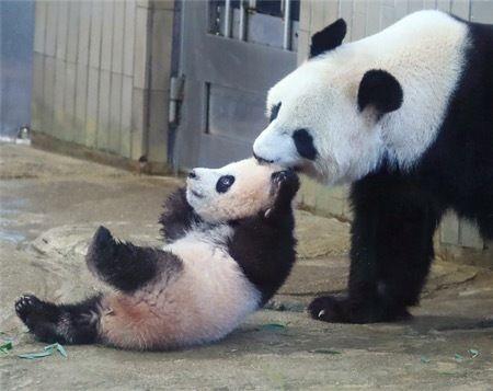 【エンタメ画像】【画像】 パンダさん、とんでもないあざといアピールをする
