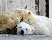 「地球温暖化の影響」で発見されたシロクマの死体がやばい
