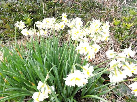 八重咲き 水仙