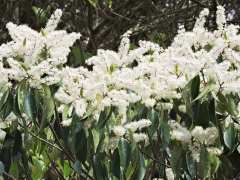 益田市 島根県立万葉公園 白い穂がある木up
