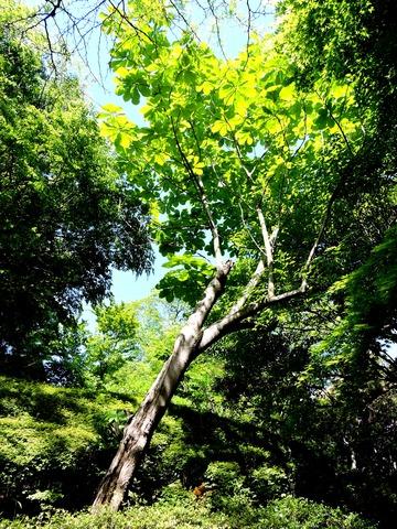 ほおのき 木 島根県立万葉公園 万葉植物園