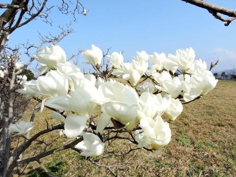 風の丘広場 白木蓮 磁石の木
