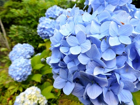 島根県立万葉公園 紫陽花 20150613