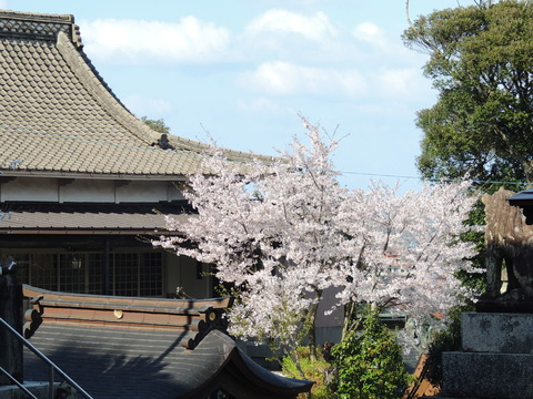 益田市 高津柿本神社 儀式殿 桜2014