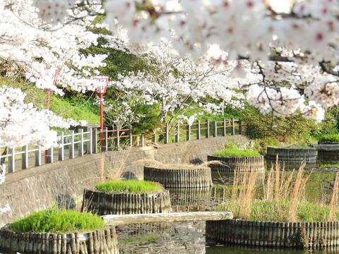 益田市,七尾公園,桜の満開