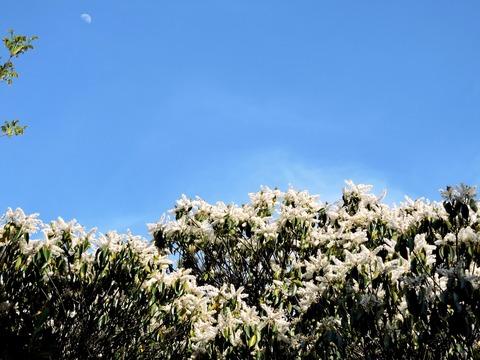 益田市 万葉公園」白い花の穂と月の風景