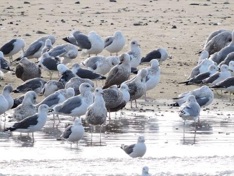 益田市 高津川 河口付近の鳥たちの風景2