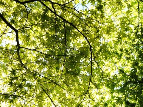 島根県立万葉公園の「もみじの若葉」遮光の風景