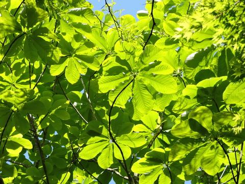 朴の木の葉