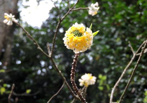 益田市万葉植物園ミツマタの花