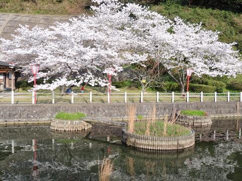 益田市 七尾公園池 桜満開
