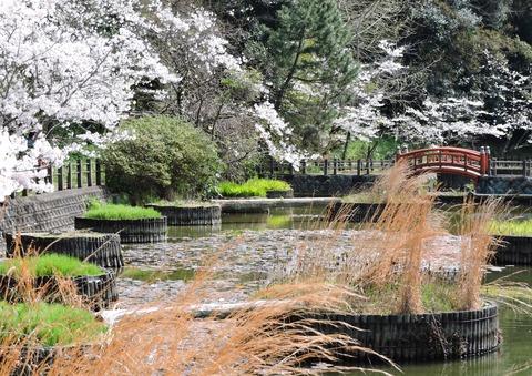 益田市七尾公園 桜20150402