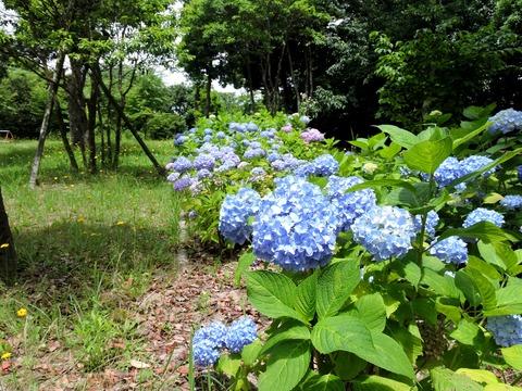 紫陽花 並木 島根県立万葉公園(益田市)
