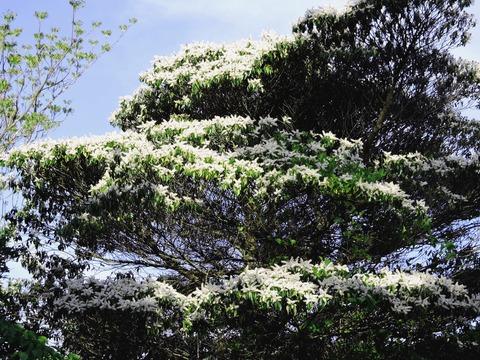 益田市 万葉公園 白い花の穂がある木