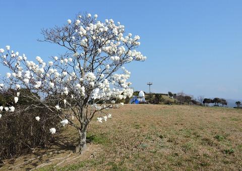 風の丘広場の白木蓮