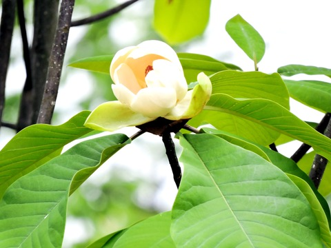 高津柿本神社 朴の木