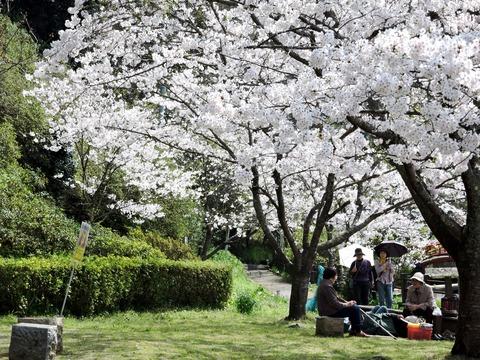 七尾公園桜20150402