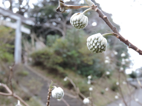 三椏の若花2015年高津柿本神社にて