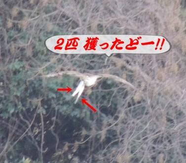 鶚みさご2匹獲り 益田市の風景