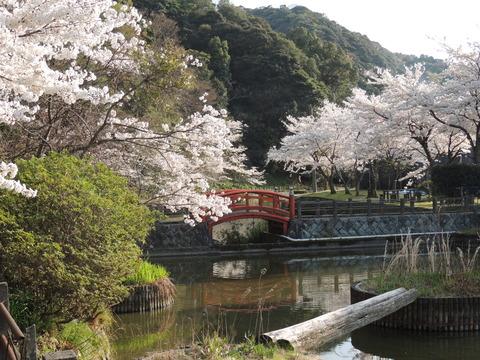 桜並木と七尾橋 益田市 七尾公園の桜