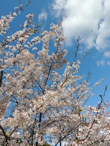 益田市 高津会本神社 儀式殿 桜2014と空