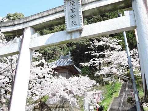 益田市住吉神社鳥居と桜